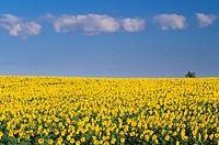 Sunflowers, Mariapolis, Manitoba, Canada