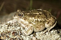 Spadefoot frog, Okanagan, British Columbia, Canada