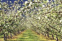 Apple blossoms in the south Okanagan in spring at Osoyoos, British Columbia, Canada