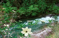 Pacific Dogwood on shores of Cowichan River, Vancouver Island, British Columbia, Canada
