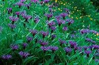 Milkweed, British Columbia, Canada