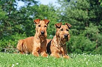 two Irish Terrier - lying on meadow
