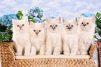 five Sacred cat of Burma kittens - sitting on bank