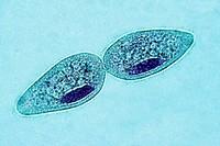 Paramecium, Protozoa, Ciliophora, unicellular ciliate, freshwater environments, 400 X  optical microscope, photomicrography , protozoan