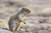 Columbian Ground Squirrel, Banff National Park, Alberta
