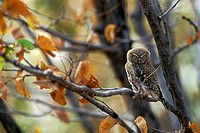 Pearl-Spotted Owlet, Zimbabwe