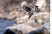 American Dipper Cinclus mexicanus Building a Nest, Coal Creek, near Fernie, British Columbia