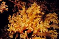Soft coral (Scleronephthya corymbosa). Red Sea