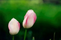Dewdrops on tulip buds, close-up