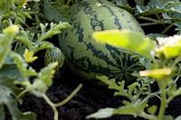 Organic watermelon on the vine, Manitoba, Canada