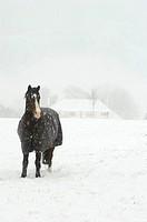 Horse standing in snowstorm