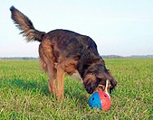 half breed dog - playing with ball restrictions: Tierratgeber-Bücher / animal guidebooks