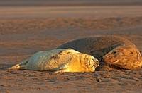 grey seal with cub / Halichoerus grypus