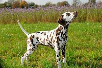 Dalmatian dog - standing on meadow