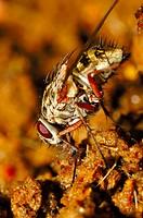 Flesh fly (Sarcophaga carnaria). Sierra Madrona, Ciudad Real, Spain.