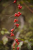Tamus communis, Black bryony