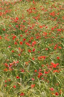 grain field, poppies, detail, Mediterranean, meadow, field, grain, poppy, red, is in store grain-cultivation agriculture economy, grain, useful plants...