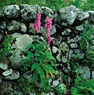 Stone-wall, Purple Foxglove, digitalis purpurea, prime, plants, figwort family, game-plants, blooming, calyxes, pink, pink, blooming, poison-plant, ve...