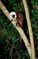 White-fronted, Brown, Lemur, Madagascar, Eulemur, fulvus, albifrons, Eulemur, albifrons