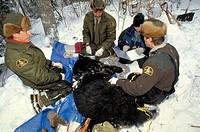 Biologists, getting, data, from, sedated, Black, Bear, La, Mauricie, national, park, Quebec, Canada, Ursus, americanus