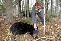 Biologist, with, anaesthetized, Black, Bear, La, Mauricie, national, park, Quebec, Canada, Ursus, americanus