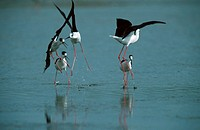 Black-winged, Stilts, fighting, Camargue, Southern, France, Himantopus, himantopus