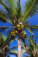 Coconut, Palm, fruits, Cocos, nucifera,