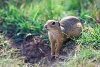 European, Suslik, Bulgaria, Citellus, citellus, European, Ground, Squirrel,