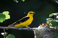 Golden, Orioles, male, at, nest, with, chicks, Bulgaria, Oriolus, oriolus,