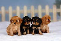 Cavalier, King, Charles, Spaniel, puppies, black-and-tan, and, ruby, 6, weeks,