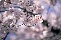 Close-up Of Cherrey Blossoms