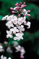 Close-Up of Lilac,Korea