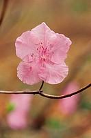 Korean Rosebay