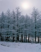 Snow Covered Trees,Winter Forest,Korea