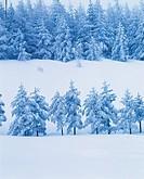 Forest In Winter,Daegwallyeong,Gangwon,Korea