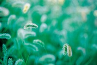 Close-up Of Foxtails