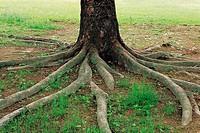 Tree Roots,Korea