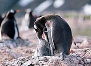 Gentoo Penguin,The Antarctic