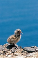 A Young Black-Tailed Gull,Korea