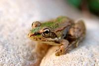 Iberian Frog (Rana perezi). Soneja, Palancia river. Castellón province, Spain.