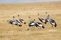 Coronet cranes standing on grass