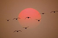 Flying cranes in front of red sun