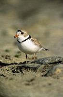 Adult piping plover Charadrius melodus in breeding plumage, aspen parklands, east_central Alberta, Canada