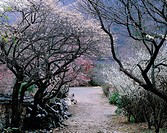 Cherry Blossoms In Spring,Seonamsa Temple,Jeonnam,Korea