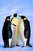 Adult emperor penguins Aptenodytes forsteri and chick, Atka Bay colony, Weddell Sea, Antarctica.