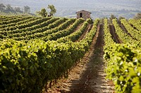 Vineyard in Vaucluse, Provence, France