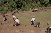 Aini fellows, Rice planting, Nannuoshan Mountain, Xishungbanna, Yunnan, China