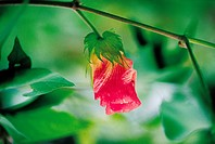 Cotton Flower,Korea