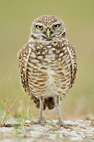 Burrowing Owl (Athene cunicularia). Florida, USA.
