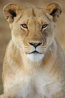 Lioness (Panthera leo). Massai Mara, Kenya.
